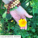 organic-herbal-smoke-tea-california-poppy