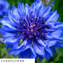 organic-herbal-smoke-tea-cornflower