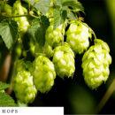 organic-herbal-smoke-tea-hops