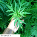 organic-herbal-smoke-tea-mugwort