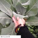 organic-herbal-smoke-tea-mullein