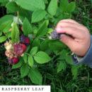 organic-herbal-smoke-tea-raspberry-leaf