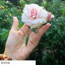 organic-herbal-smoke-tea-rose