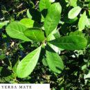 organic-herbal-smoke-tea-yerba-mate