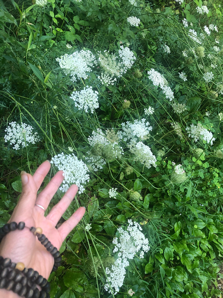 Queen Anns Lace Wild Carrot Seed Natural Birth Control Contraceptive